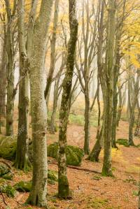 Beech forest in Autumn with fog